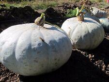 Winter Squash Sweet Meat  10 seeds * Heirloom * Non GMO * CombSH K16