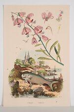 Gravure Aquarellée 1839 Paysage Bord de Mer Polygale Polynème Plante Poisson XIX
