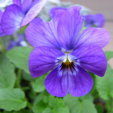 Small Blue Flower Pansy Seed 30 Seeds Viola Tricolor Flower Garden Seeds A261