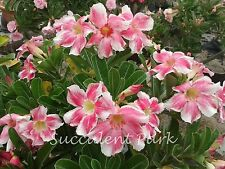 """Adenium Obesum (Desert Rose) """"Beautiful Lady"""" grafted plant"""