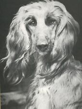 Beautiful Afghan Hound Dog Head Study Vintage Full Page 50 year-old Photo Print