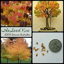 10+ KATSURA TREE SEEDS (Cercidiphyllum japonicum) Fragrant Bonsai Autumn Japan