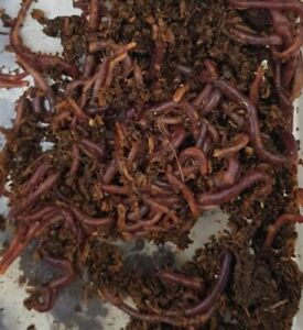 Kompostwürmer/Regenwürmer 500 St.