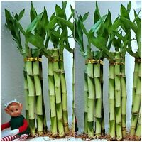 8 inches Lucky Bamboo 6 Healthy Plants, Gift, Feng Shui, Indoor Plant All Year
