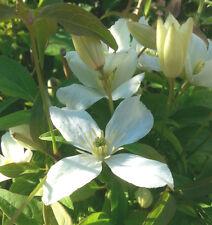 Waldrebe Clematis montana Grandiflora 40-60cm Frühlingsblüher