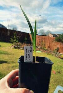Chamaerops humilis - European Fan Palm seedling in 0.9L pot