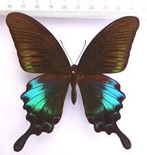 butterflies,Papilio polyctor pinratanai Männchen  ex East-Thailand n21