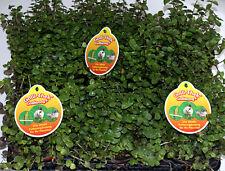 6 Stück Golliwoog Futterpflanze für Vögel Säuger und Reptilien Bartagamen