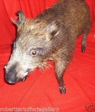 Wild boar total taxidermy head hooves skin hunting collectible tusks solid resin