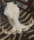 Huge Large Warthog European Taxidermy Skull Mounted Mount