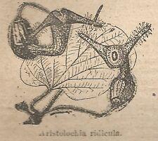 A1061 Aristolochia ridicula - Stampa Antica del 1911 - Xilografia