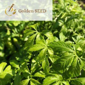 100 Seeds Gynostemma Pentaphyllum Jiaogulan Medicine Herbaceous Climbing Plants