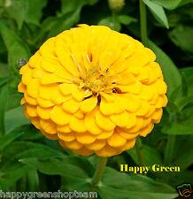 ZINNIA DAHLIA GIANT - GOLDEN DOWN - 130 SEEDS - Zinnia elegans Dahlia - FLOWER