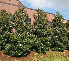 Brackens Brown Beauty Southern Magnolia Tree - 1-2 Feet  - 4 Inch Tall Pot