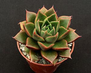Echeveria 'Shark Skin' | Hybrid | Surreal Succulents