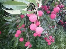 Grafted Lychee Tree 2 Varieties available Sweetheart & Brewster