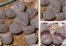 50 graines de Lithops divergens C202,pierres vivantes, succulentes F