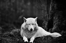 Lámina-White Wolf, en el bosque (imagen Poster la caza de animales)