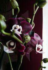 "Orchidee Phalaenopsis Kaoda Twinkle ""Chocolate Drops"" Leite Duft!"