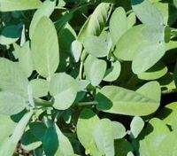 Sage Seeds Broad Leaved | Non-GMO | Fresh Garden Seeds
