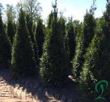 Thuja Plicata 10 x Lebensbaum Heckenpflanzen 160-180 cm inkl. Versand 255,- €.