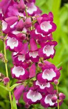 Penstemon Pentastic Rose perennial Jumbo Garden Plug Plant X 3