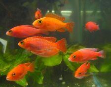 Orange/Pink Peacock Cichlids Live Freshwater Aquarium Fish