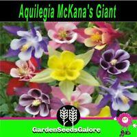Aquilegia McKana's Giant Mixed colours 100 cottage garden flower seeds