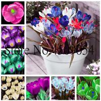 100 PCS Seeds Saffron Flowers Bonsai Perennial Plants Garden Free Shipping 2019