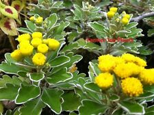 "HARDY MUM - MUMS - PACIFICUM  - CHRYSANTHEMUM SILVER & GOLD - 2 PLANTS - 3"" POT"