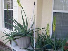 Aloe Vera Starter  10 inch  One (1) Plant Fat Leaf Aloe
