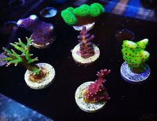 *Sps Starter* 6 Frag Pack Wysiwyg - Acro Live Coral Ora Wwc - Budmans Corals