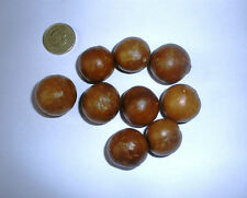 Macadamia Nut, Macadamia integrifolia  Tree, Evergreen, 10 Seeds