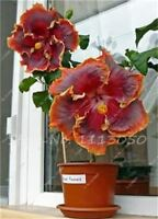 100 PCS Hibiscus Tree Seed Flower Cheap Flower Seeds Indoor Bonsai Plant Easy to