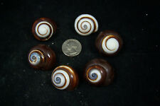 "6 Beautiful  Brown And White Land Snails Shells  1"" to 1 1/4"" Hermit Crab"