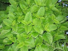 1500 LEMON BALM Lemonbalm Fragrant Herb / Flower Seeds +Free Gift & Comb S/H