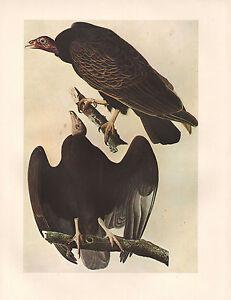 Vintage John James Audubon Vogel Aufdruck ~ Türkei Geier