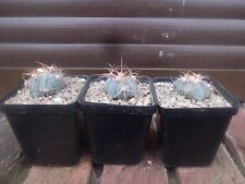 Echinocactus Horizonthalonius 3cm with Roots
