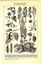 1898 Botanical Plants,Polygonum,Knotweed,Rhubarb,Sheep's Sorrel, Black Pepper