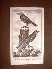 Berta e Spezzanoci Incisione su rame del 1813 Buffon Uccello Ornitologia
