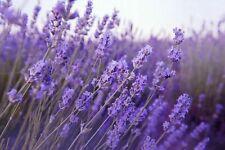 100 Graines de Lavande Méthode BIO seeds fleurs vivace a semer officinale jardin
