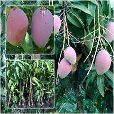 "Mango Tree Plant Grafted ""Daeng Chakkraphat"" Tall 18'' Fruit Tropical Thailand"
