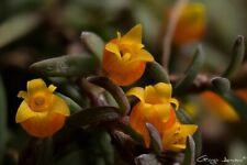 Miniature Mediocalsar pygmea 16 shoots 4 x 10 cm B.S.