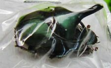 Metallic Green Scarab Dung Beetle Pair Onthophagus mouhoti FAST SHIP FROM USA
