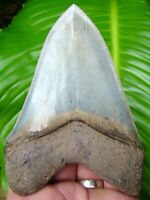 MEGALODON SHARK TOOTH  - OVER 4 & 7/8 in.  WORLD CLASS QUALITY - MUSEUM GRADE