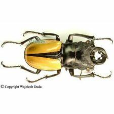 Odontolabis ludekingi - male, + 60mm, A- (darker color)