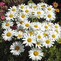 SHASTA DAISY 25+ SEEDS ORGANIC, BEAUTIFUL BRIGHT WHITE/YELLOW FLOWER