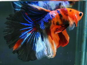 (LimitedOffer!) Premium Live Betta Fish l Male HM Nemo Galaxy Plakat 4121