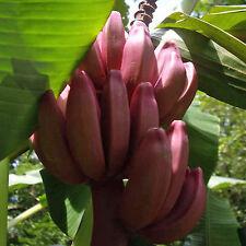 Musa velutina, Velvet Pink Banana Rosa Zwergbanane Banane Platano - 12 Seeds