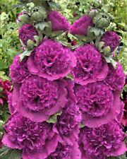 30+ VIOLET GIANT DANISH DOUBLE HOLLYHOCK  FLOWER SEEDS / PERENNIAL